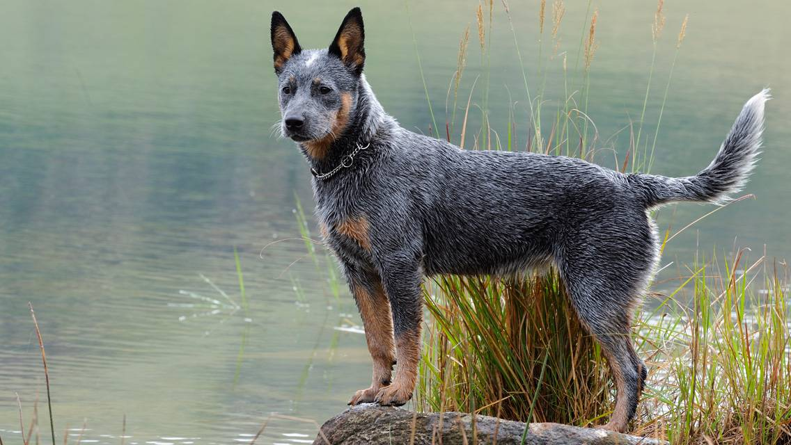 Австралийская пастушья собака (австралийский хилер): фото, содержание и уход