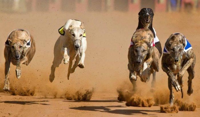 Топ- 10 самых быстрых в мире пород собак | все о собаках