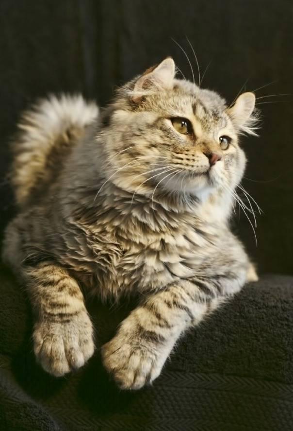 Кошка хайленд-фолд: описание породы, характер, советы по содержанию и уходу, фото