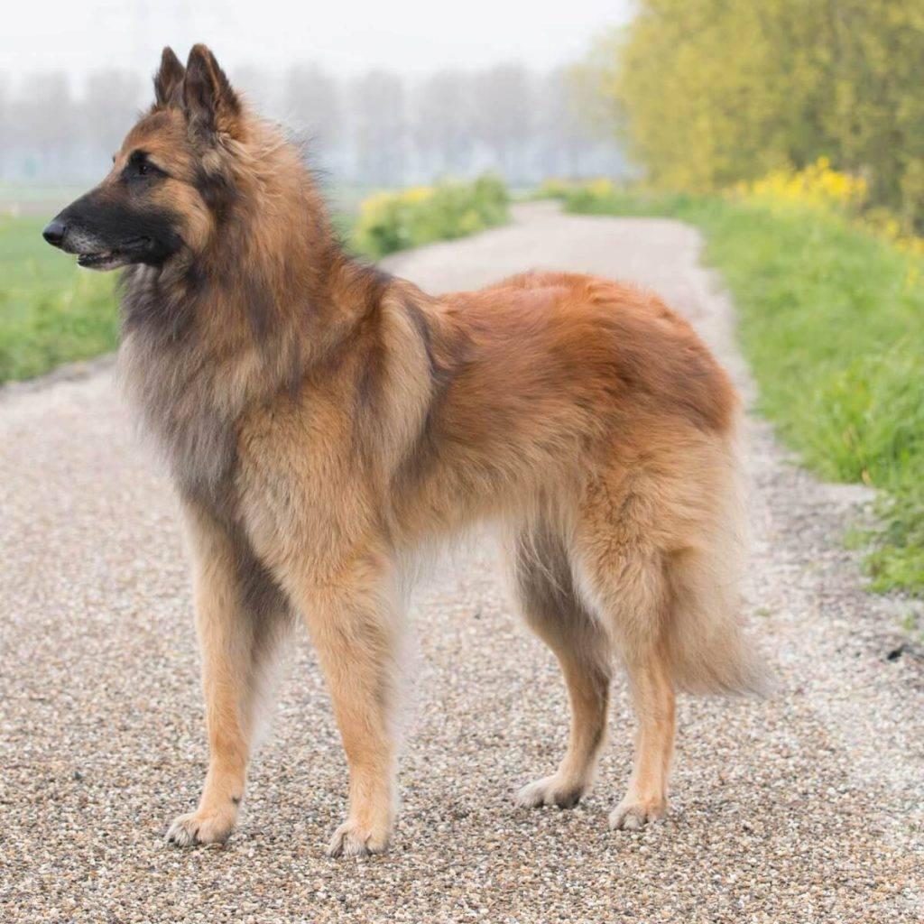 Бельгийская овчарка – 4 типа породы: внешние признаки, описание характера, правила содержания, ухода и дрессировки