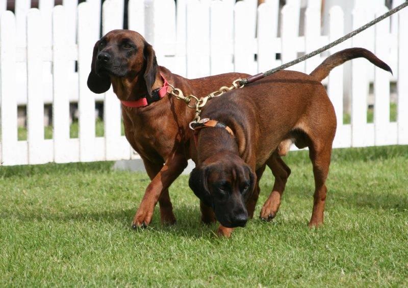 Австрийская гончая — описание породы и характер собаки