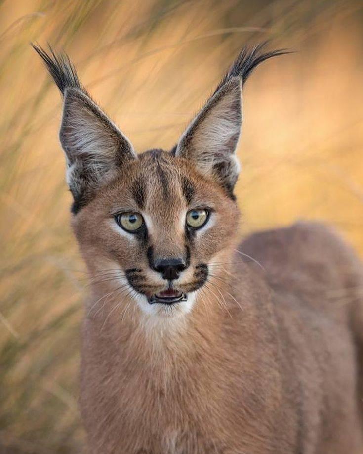 Кошки с кисточками на ушах: разнообразие пород и особенности содержания