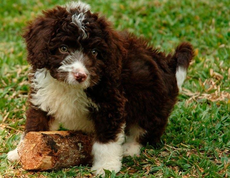 Описание породы собак алано (испанский бульдог) с отзывами владельцев и фото