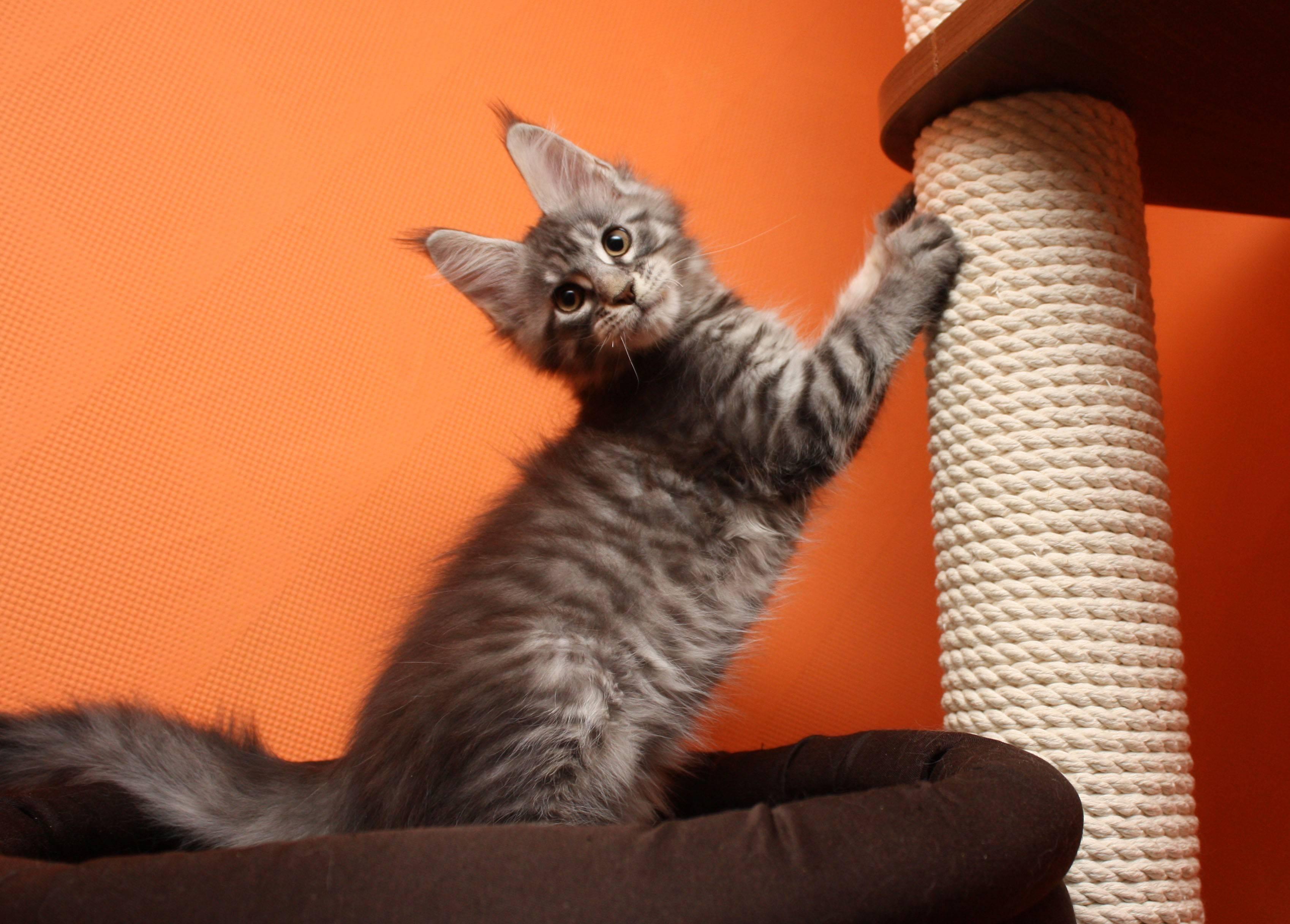 Сколько живут мейн-куны? как продлить продолжительность их жизни? правила ухода за кошками в домашних условиях