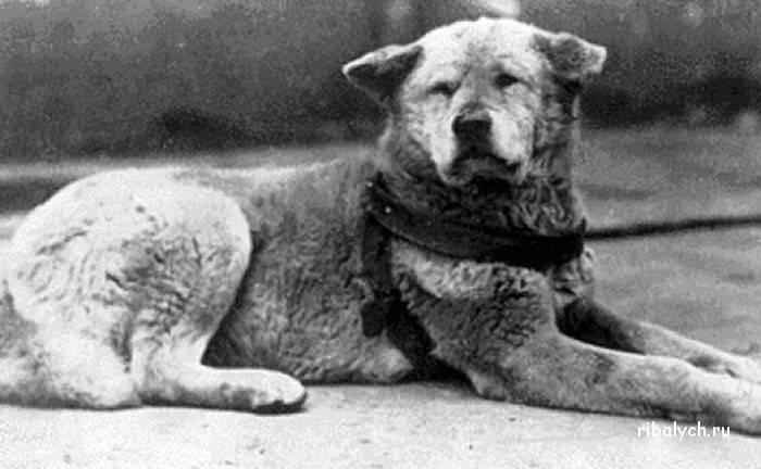 Собачья преданность или история легендарного пса хатико