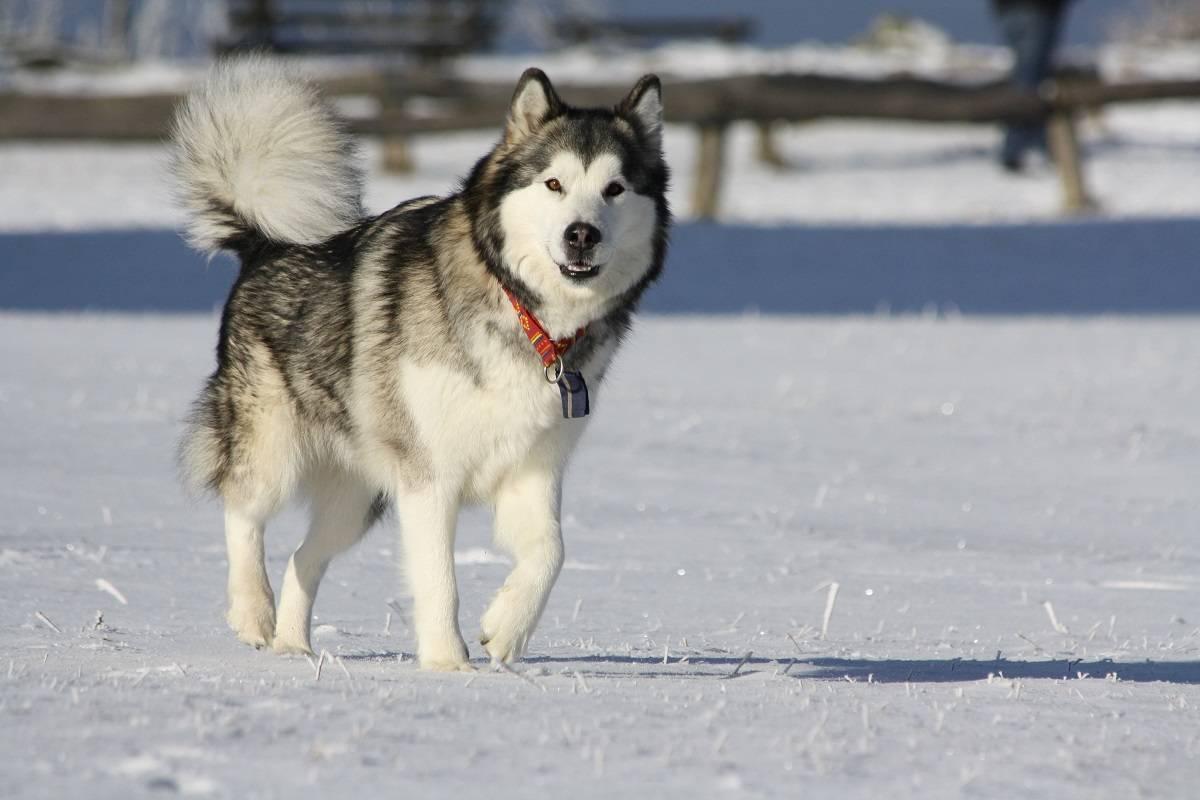 Мини хаски: описание породы аляскинский кли-клай, внешний вид карликовой собаки, характер и повадки