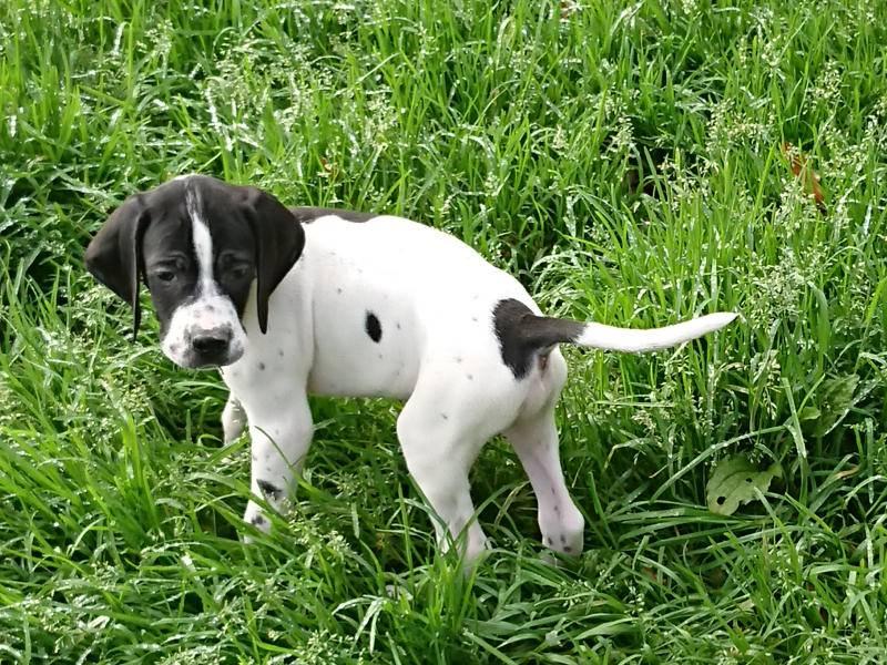 Английский спрингер-спаниель: фото и описание породы собак английский спрингер-спаниель: фото и описание породы собак