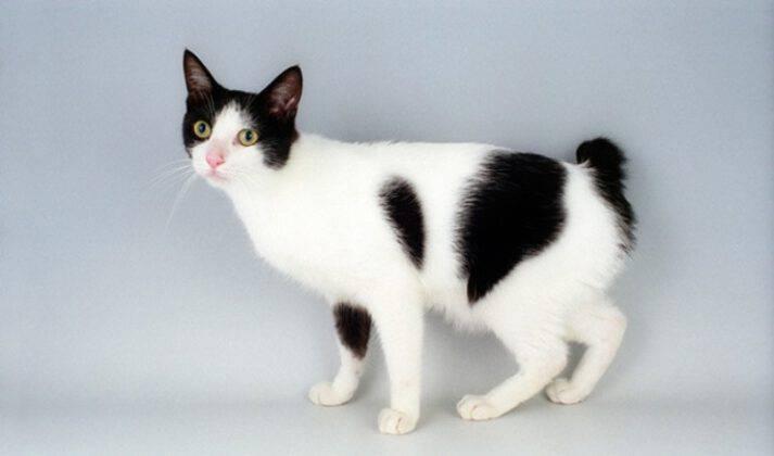 Японский бобтейл: описание и характер породы кошек, уход, фото
