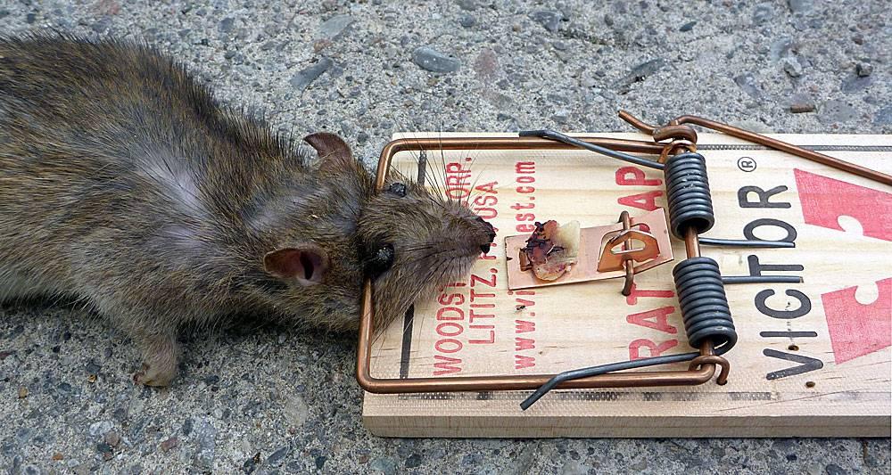 Лучшие виды крысоловок для борьбы с грызунами