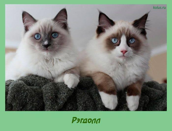 Рэгдолл: описание породы кошек, особенности характера и поведения, фото и отзывы владельцев, как выбрать котенка