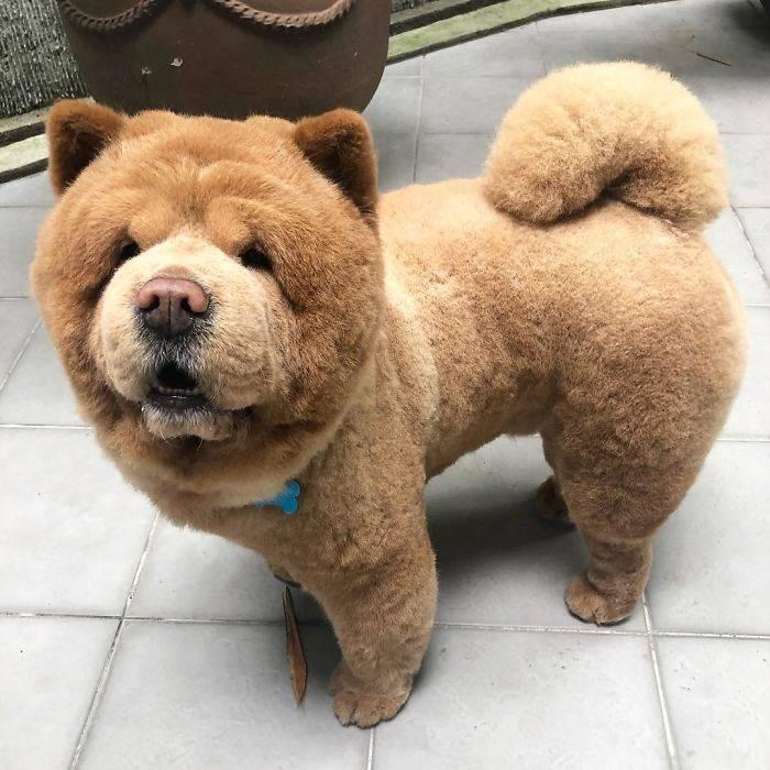 Собака-медведь: породы, похожие на медвежат