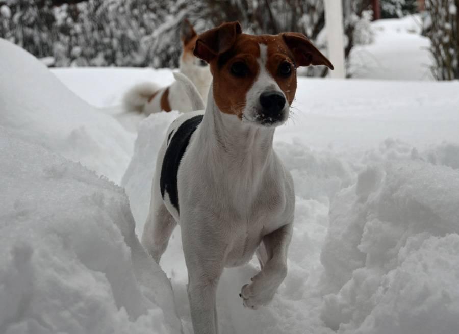 Датско-шведская фермерская собака (гардхунд): обзор породы с фото