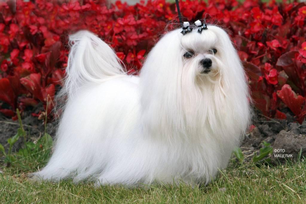 Декоративные собаки: особенности, породы и их описание