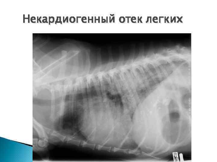 Отек легких у кошек: как успеть спасти питомца, лечение
