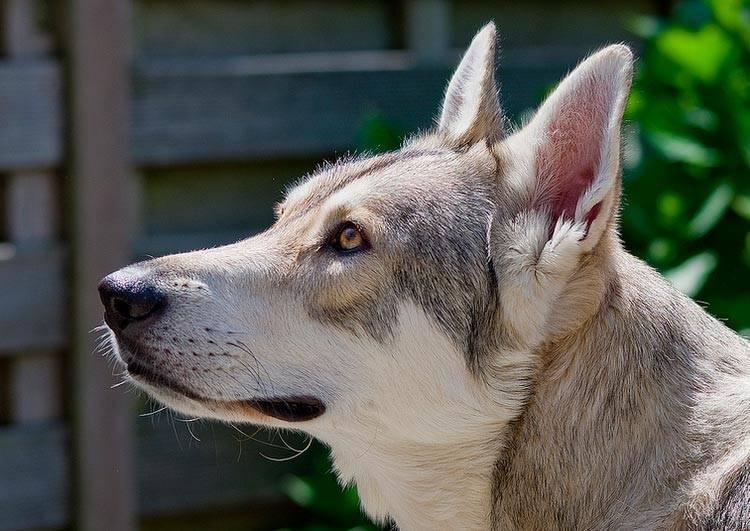 Порода собак волчья собака сарлоса: фото, видео, описание породы и характер