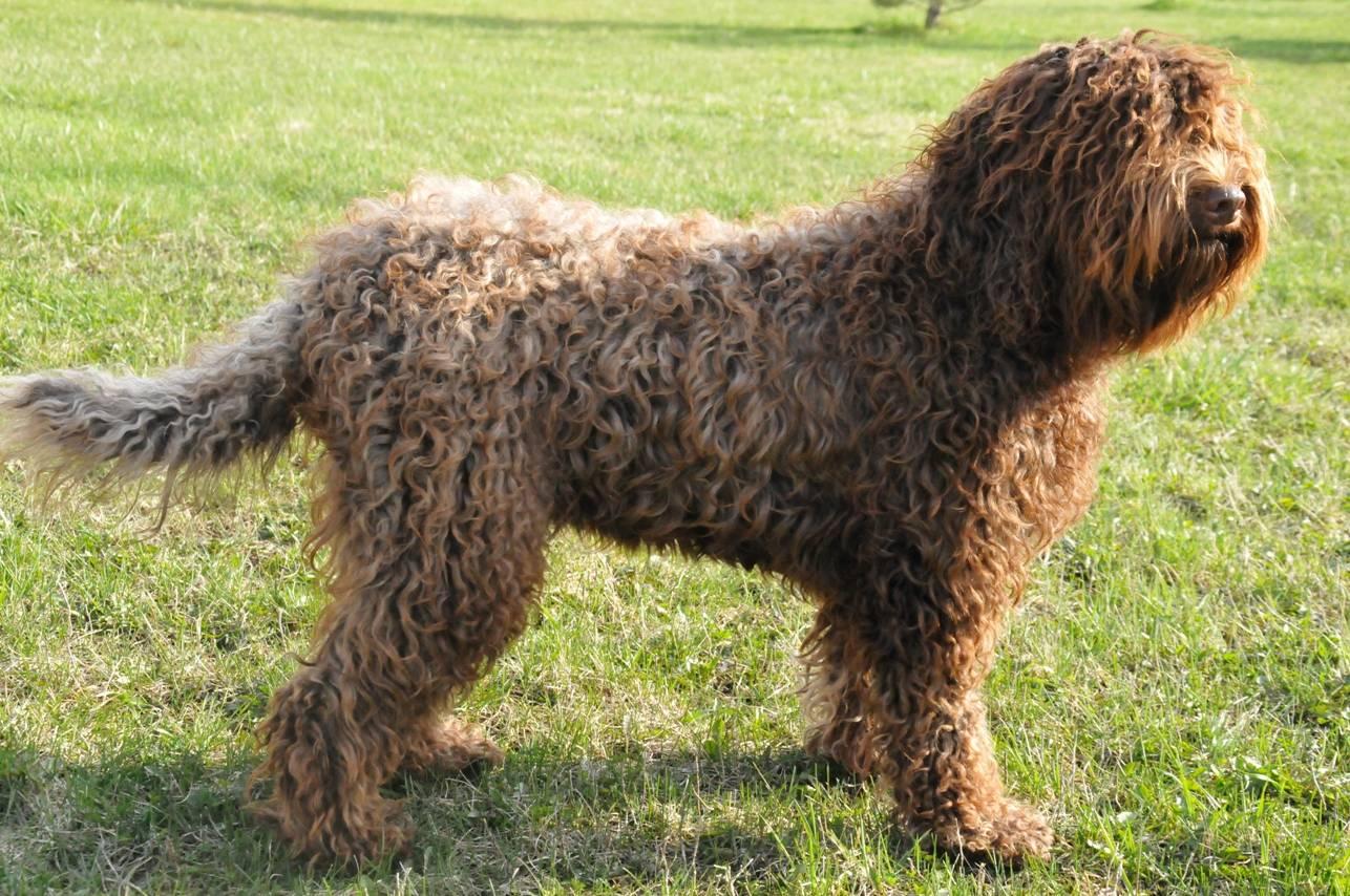 Барбет: редкая, охотничья собака из франции