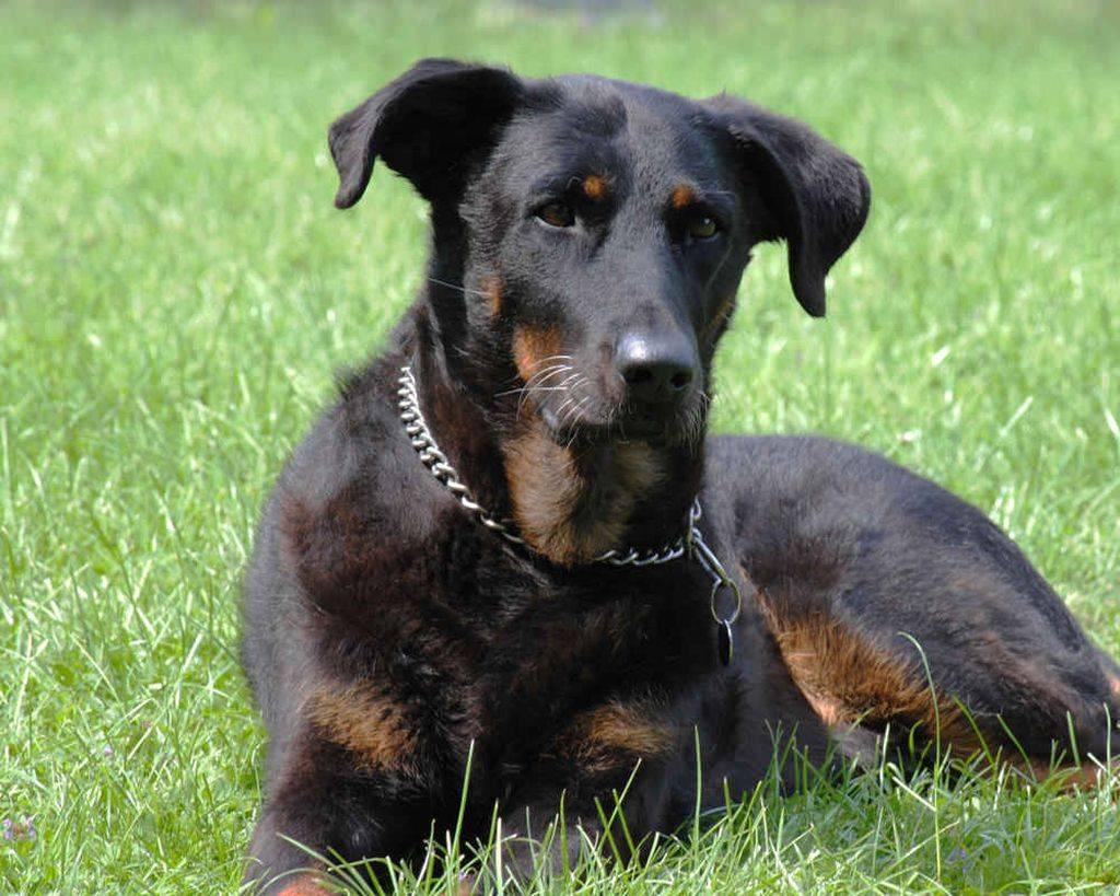 Босерон (собака): фото, описание породы, характер и цены