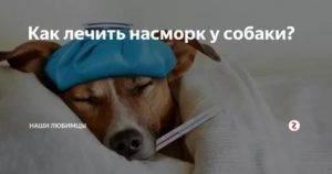 Постоянное чихание, фыркание у собак: чем обусловлено, опасно ли для питомца