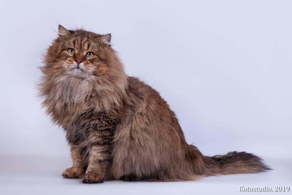 Сибирская кошка - 135 фото внешнего вида в обзоре породы от а до я