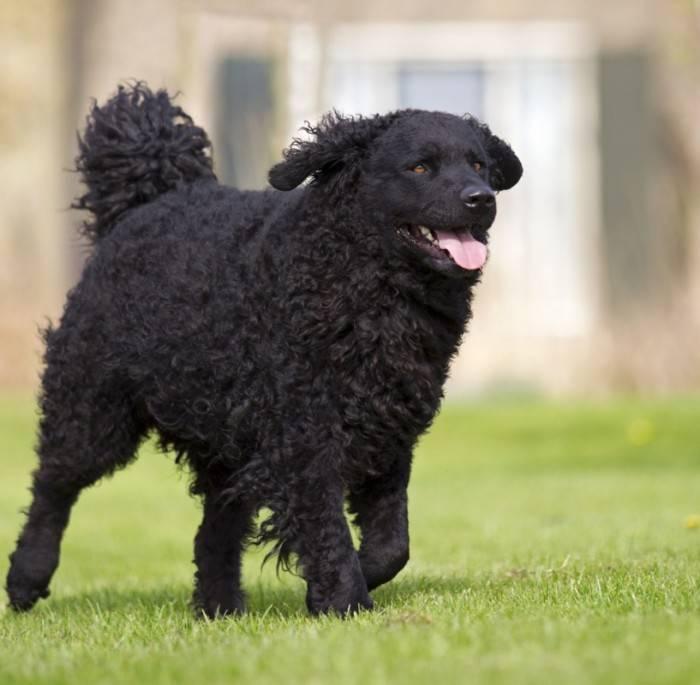 Коикерхондье (коикер, голландский спаниель): о породе собак с фото и видео