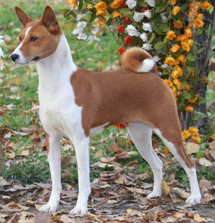 Породы собак средних размеров: общие черты, виды с описанием, выбор, уход