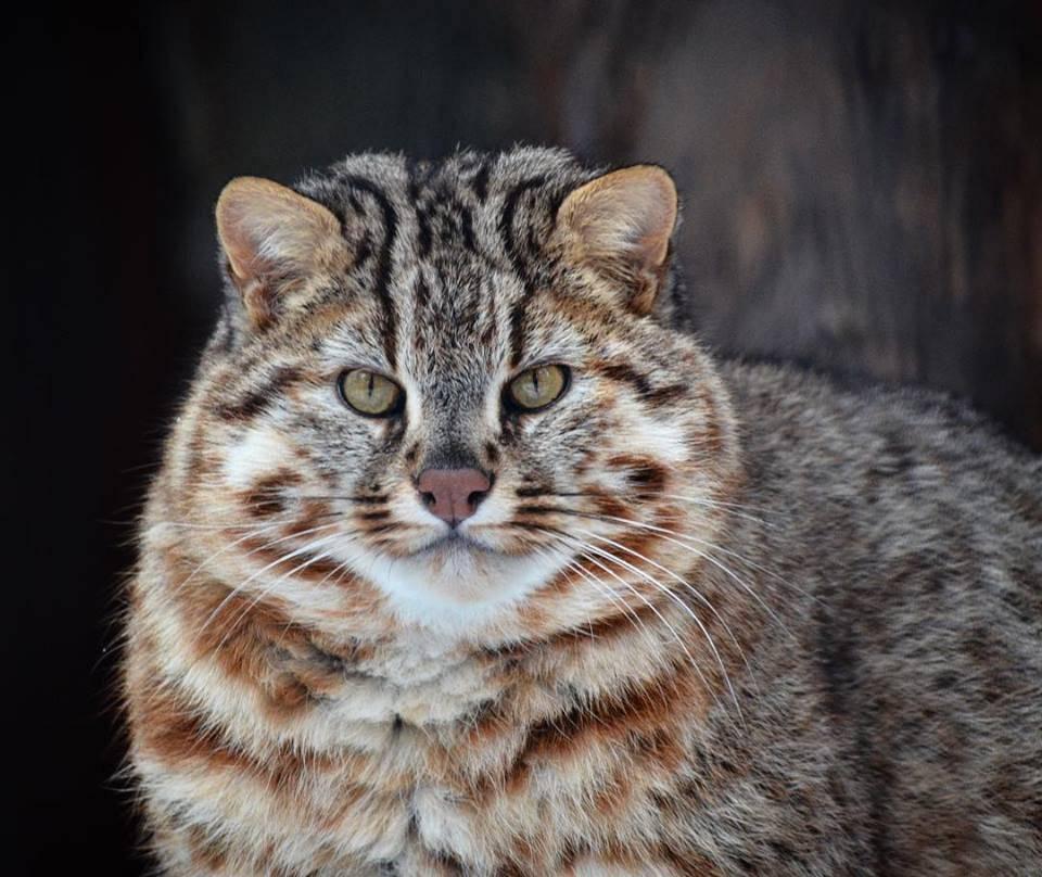 Где водится амурский лесной кот, что пишет о нём красная книга