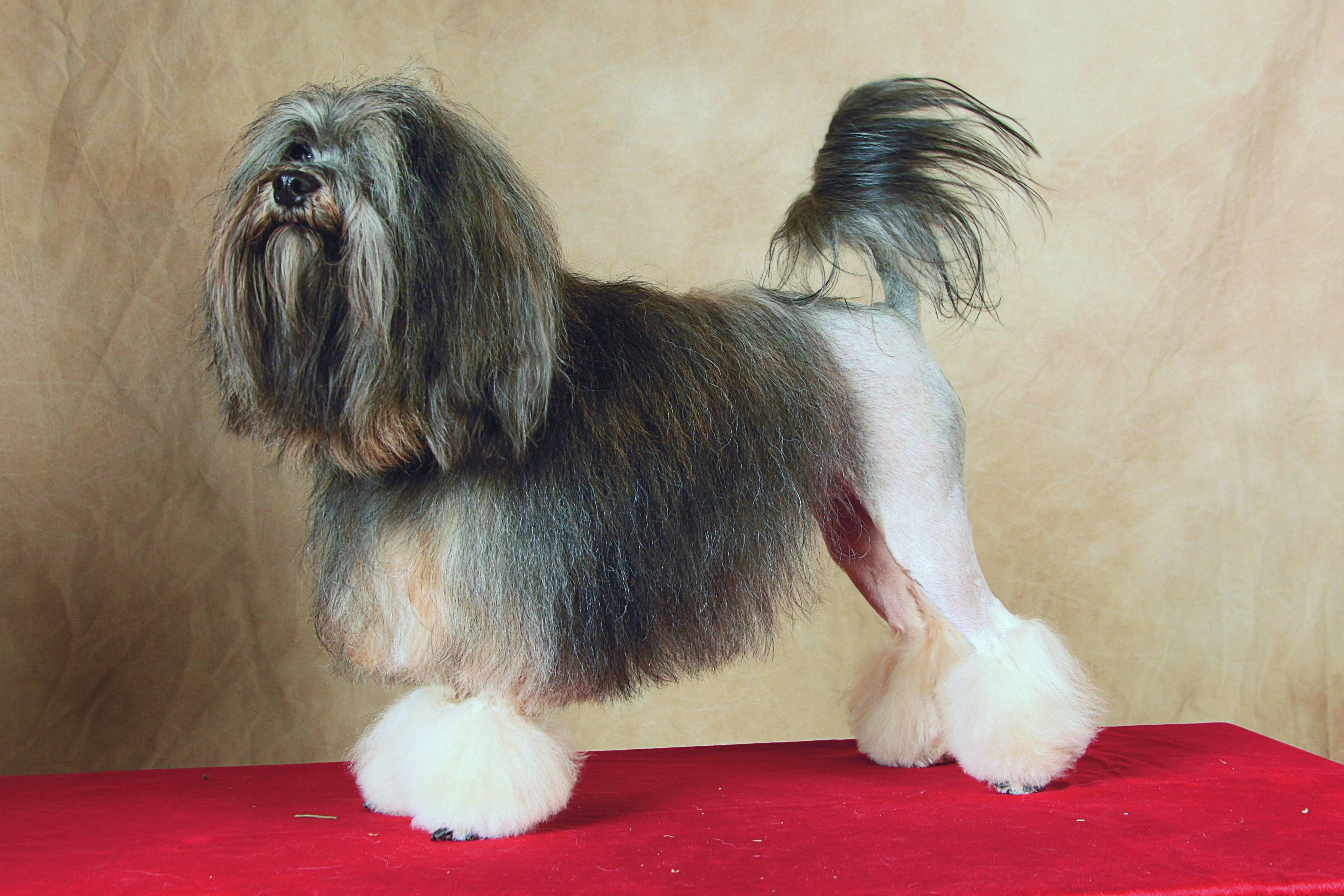 Левхен (малая львиная собачка): описание породы собак с фото и видео