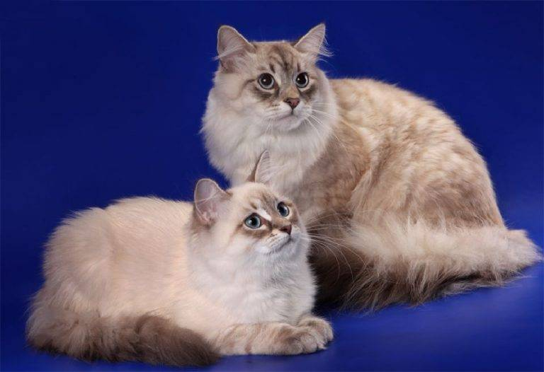 Невская маскарадная кошка: голубоглазая красотка в карнавальной маске
