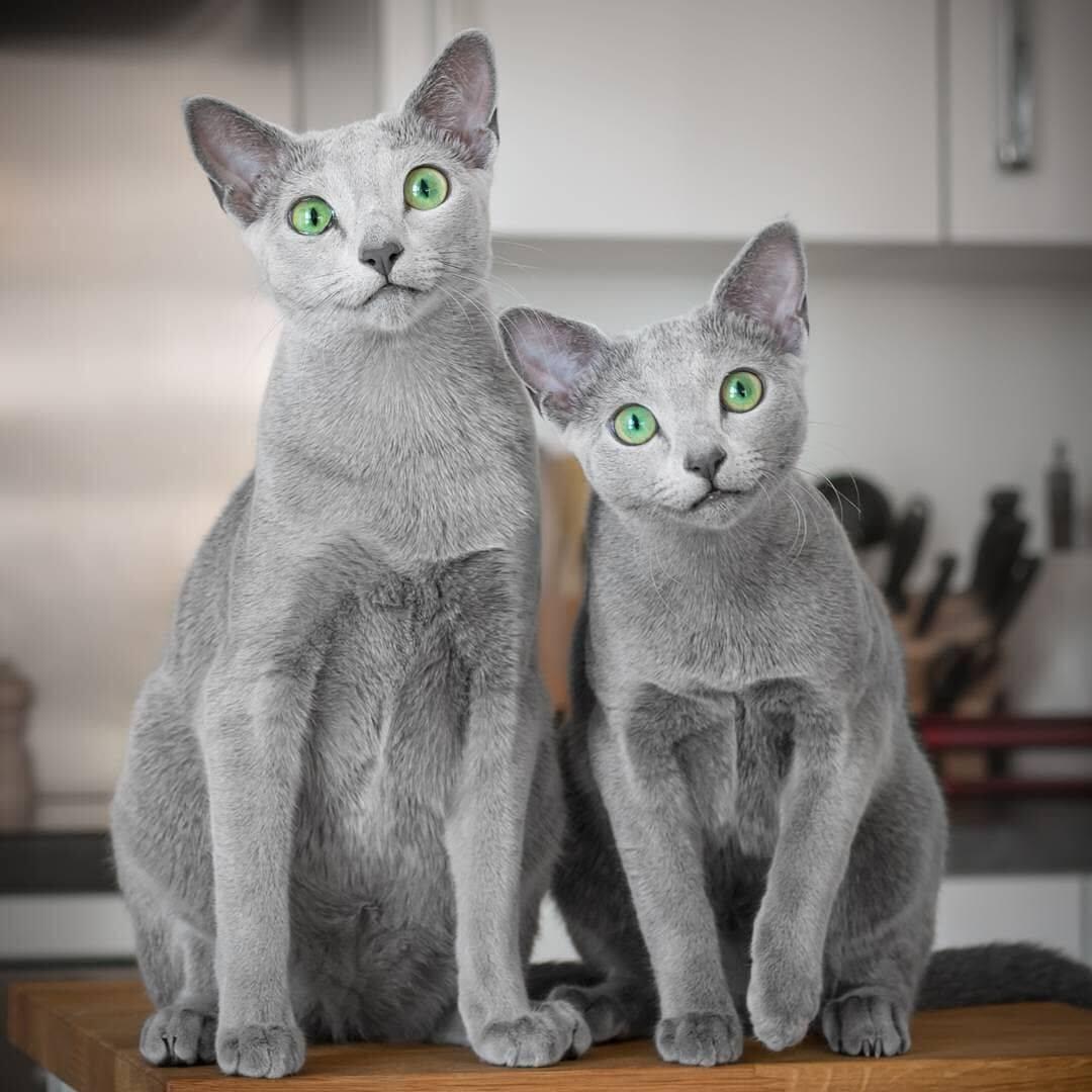 Самые добрые и ласковые породы кошек, их названия и фото