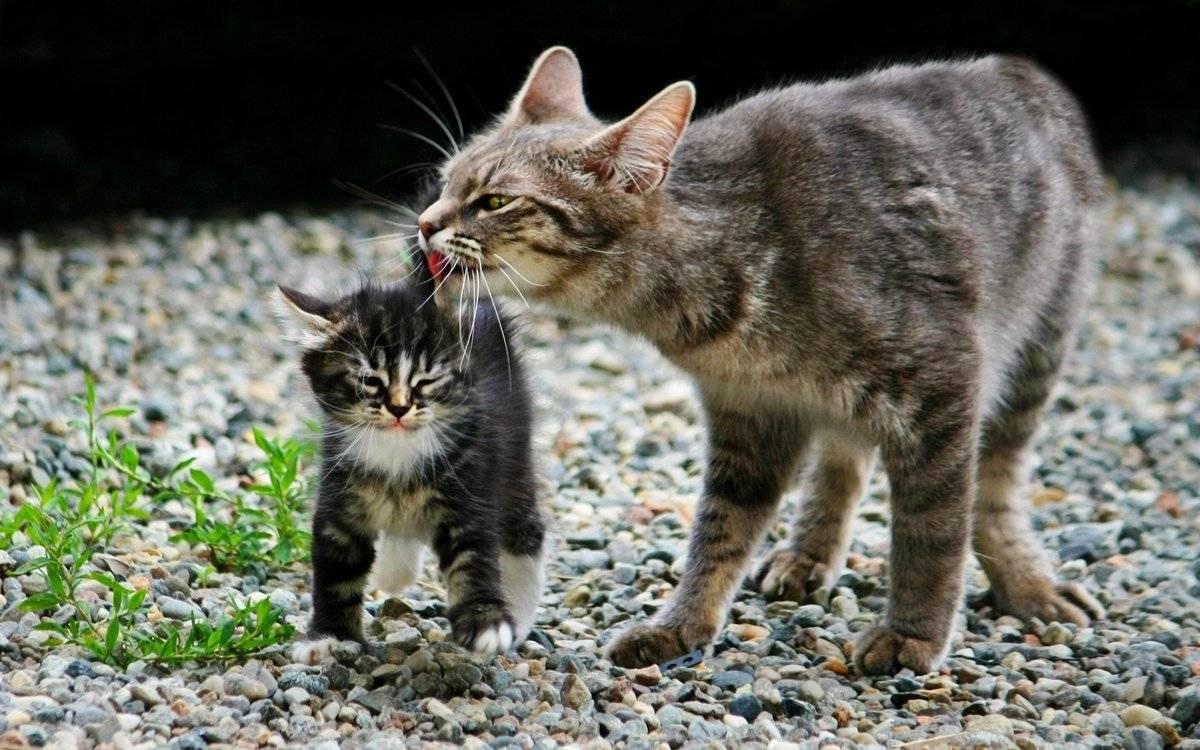 Как подружить двух кошек в одной квартире: первая встреча, адаптация и правила содержания + как помирить животных