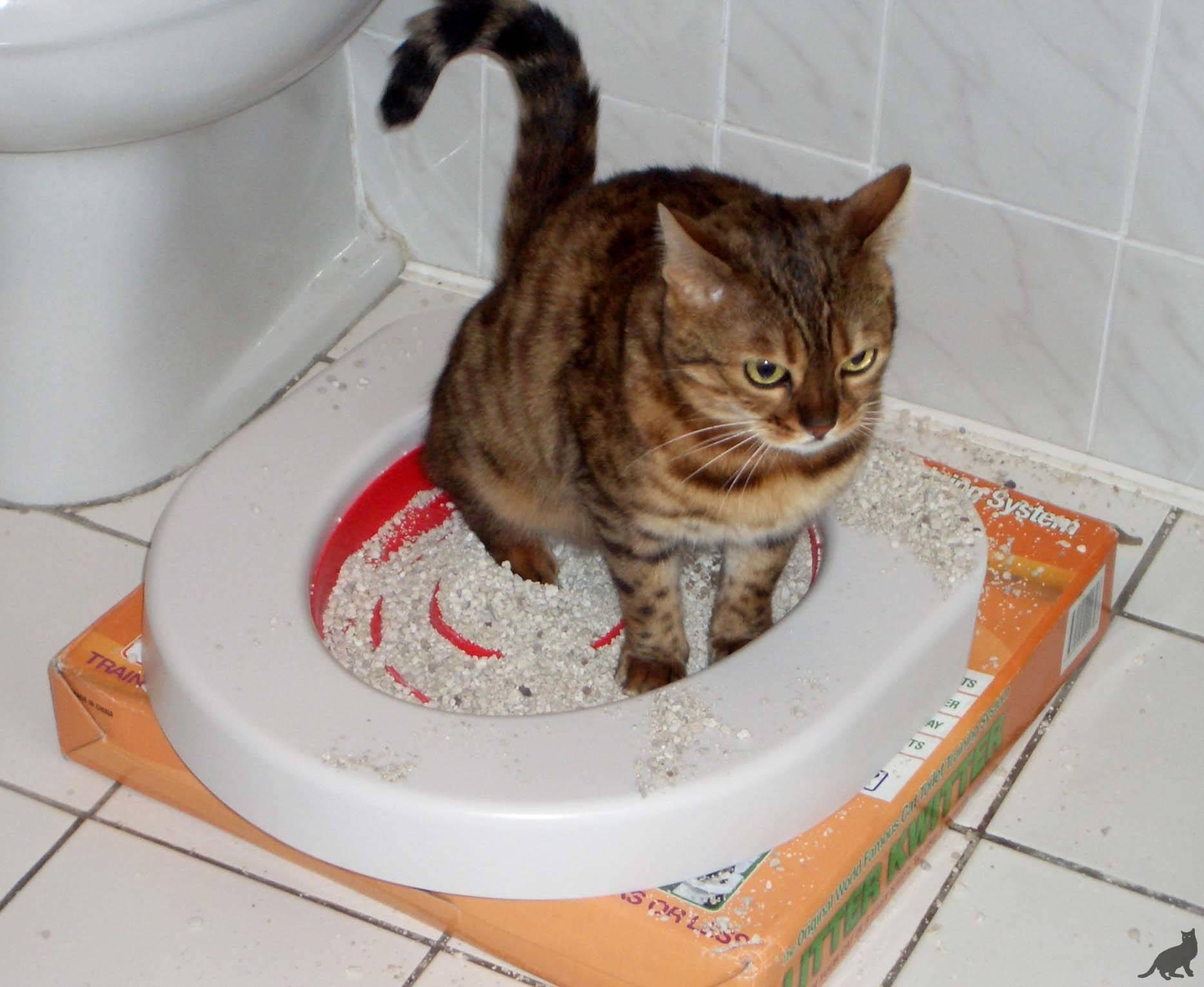 """Как быстро приучить котенка ходить в лоток   блог ветклиники """"беланта"""""""