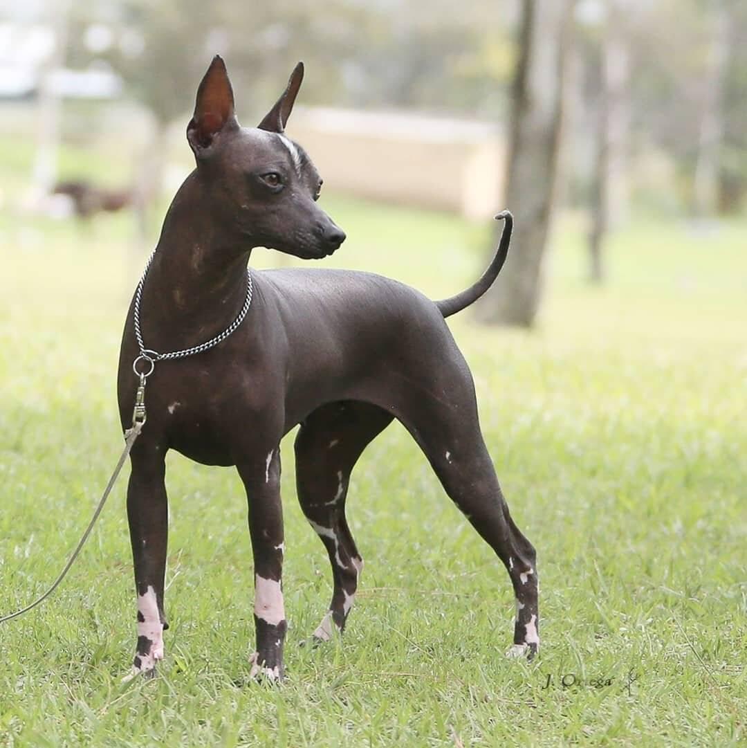 Мексиканская голая собачка. о породе собак: описание породы мексиканская голая собачка, цены, фото, уход
