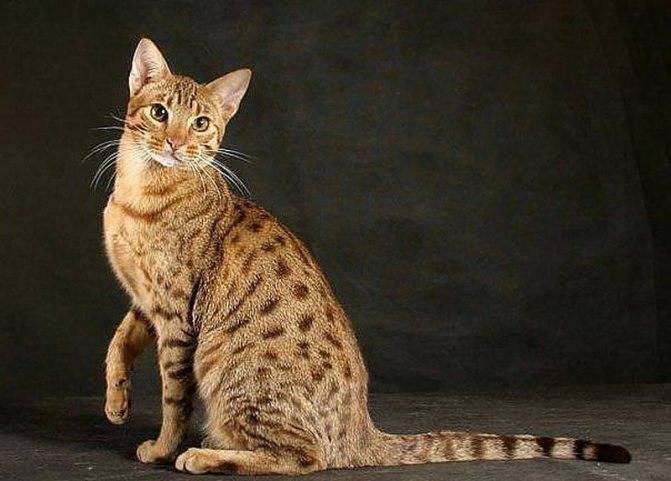 Серенгети – история, внешность и характер кошки