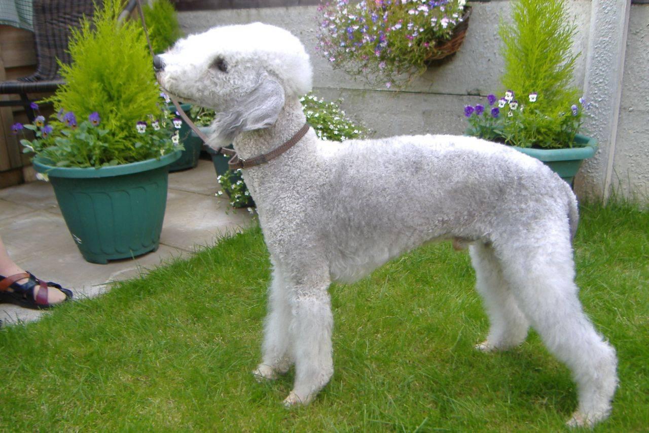 Бедлингтон-терьер: фото и описание породы собак