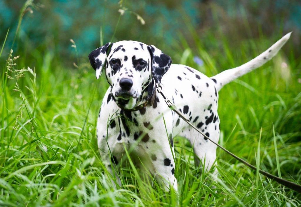 Далматин (далматинец): описание породы собак с фото и видео