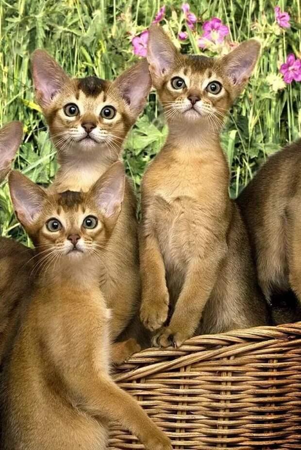 Абиссинские кошки: описание породы, характер, здоровье