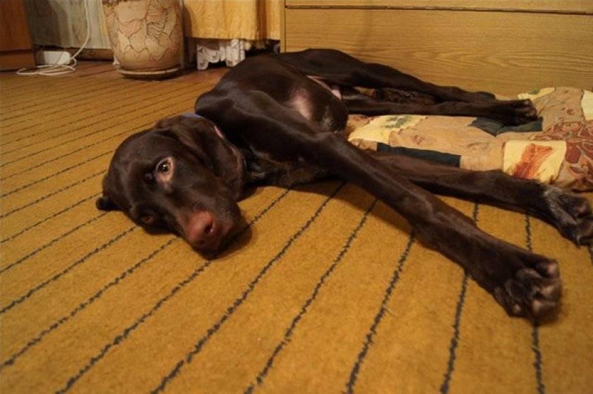 """Гастрит у собаки - причины, лечение заболеваний желудка  у собак в москве. ветеринарная клиника """"зоостатус"""""""