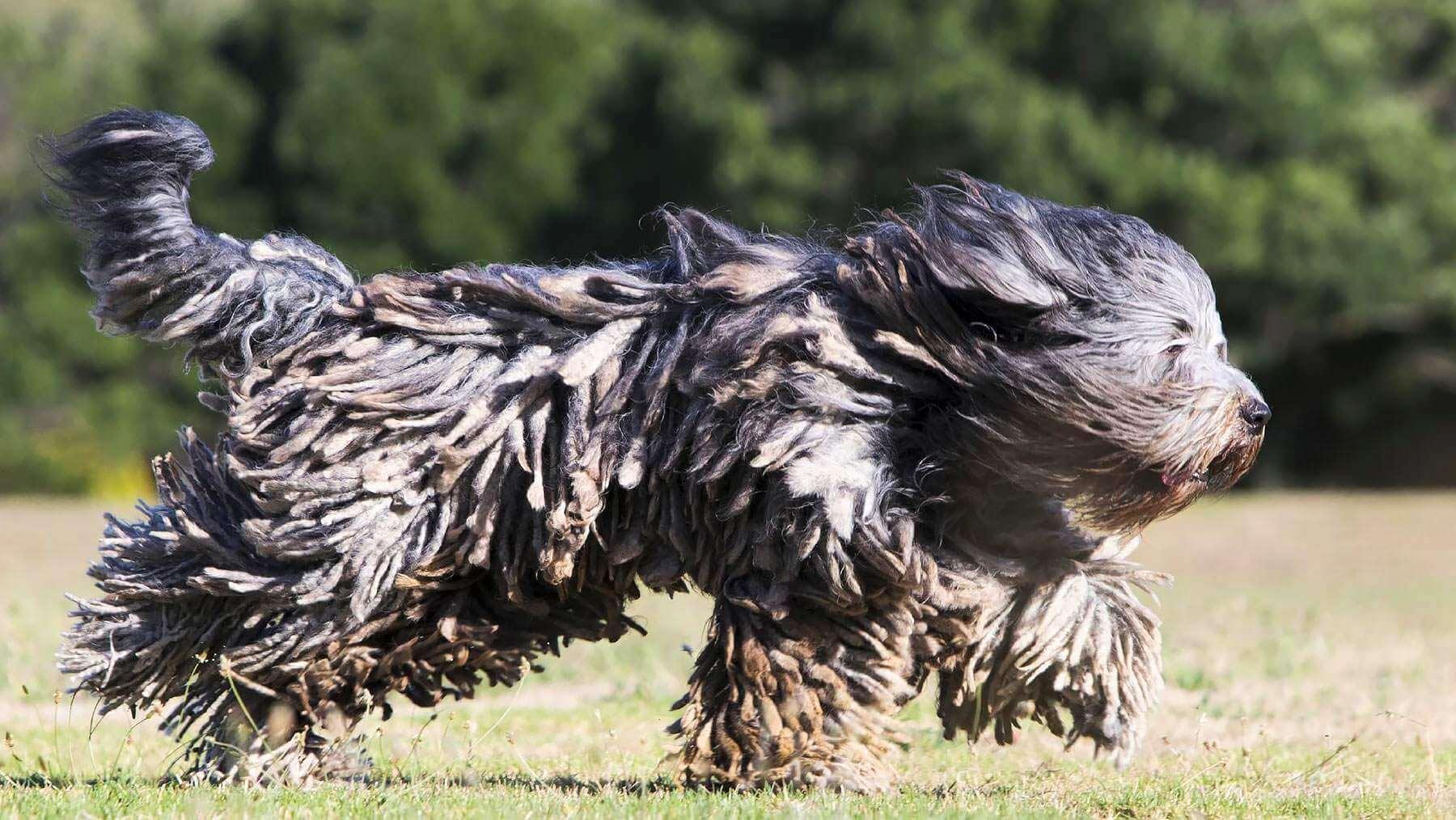 Бладхаунд: описание породы, характер собаки и щенка, фото, цена