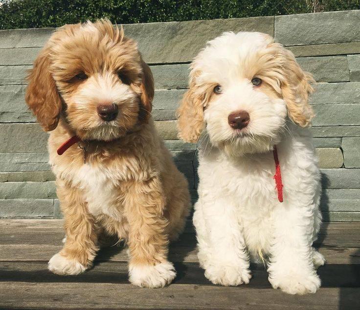 50 гипоаллергенных пород собак для чувствительных владельцев