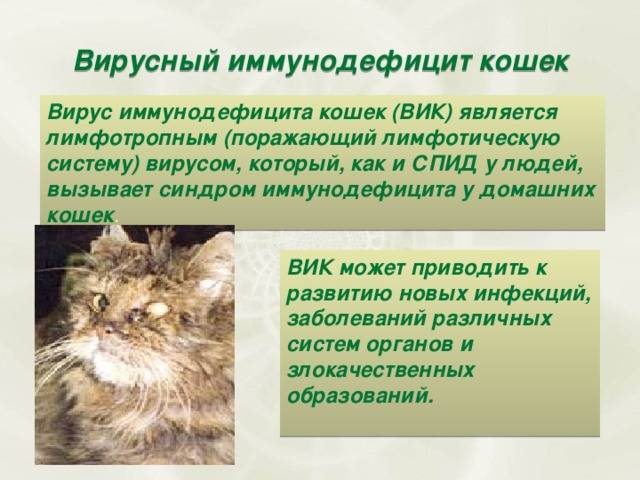 Вирусные инфекции у кошек, котов.