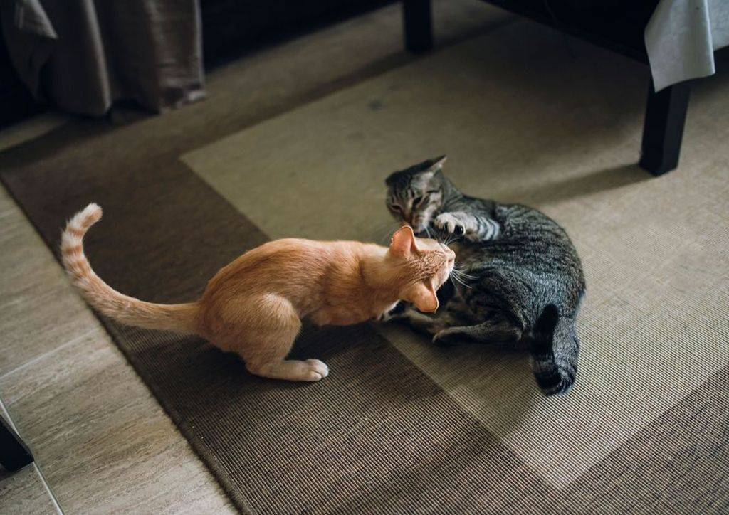 """Агрессия у кошек - причины, что делать с агрессией у кошки. ветеринарная клиника """"зоостатус"""""""