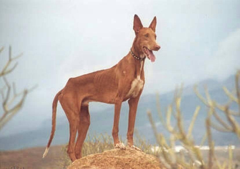 Чирнеко дель этна: описание породы собак с фото и видео
