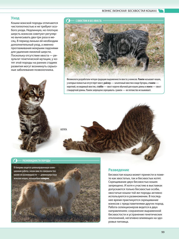 Сибирская кошка: фото породы, описание внешности и характера