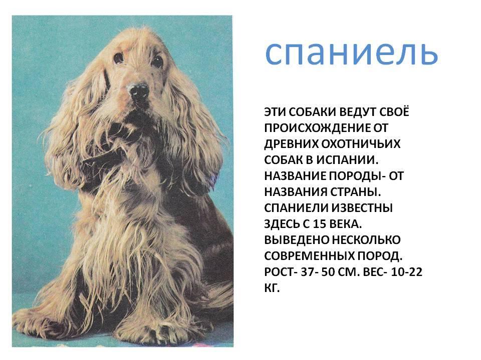 Русский охотничий спаниель: характеристика и описание породы, уход и содержание собаки
