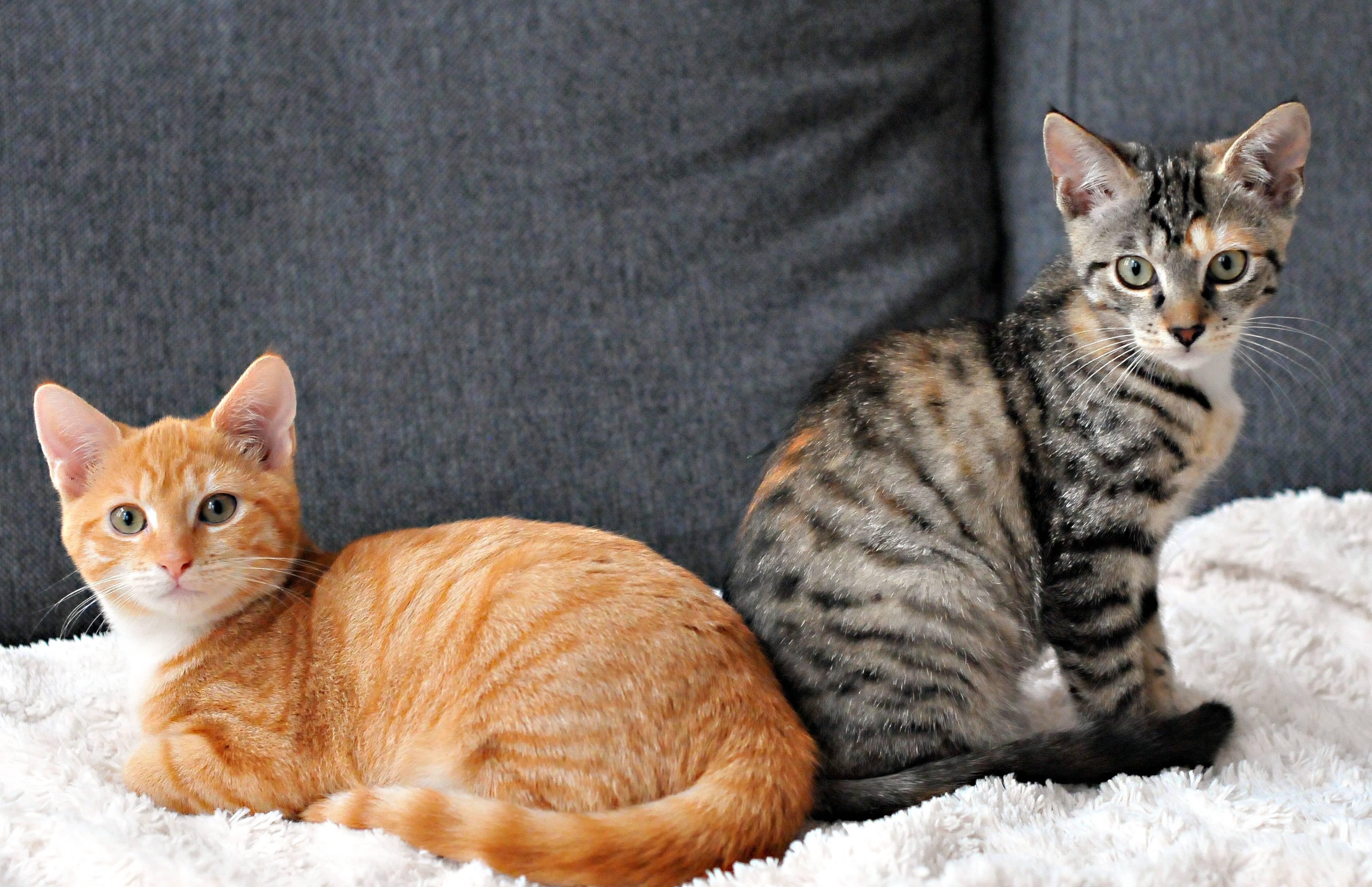 Европейская кошка: описание короткошерстной кельтской породы