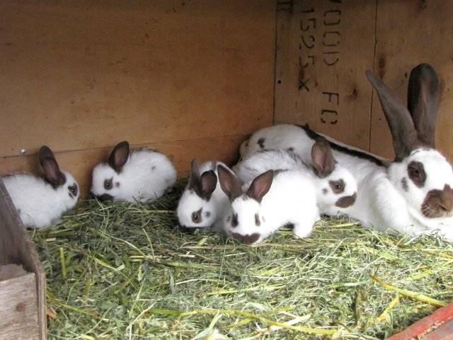 Описание и характеристика кроликов породы строкач, правила разведения