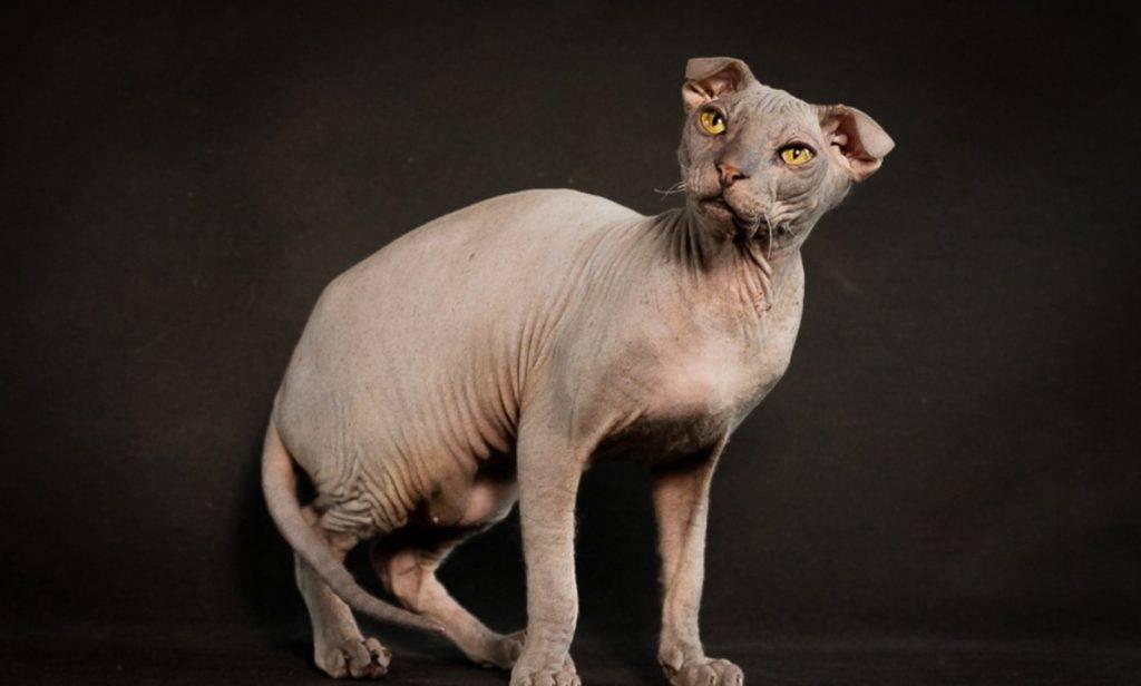 Украинский левкой: описание породы кошек, характер, отзывы (с фото и видео)
