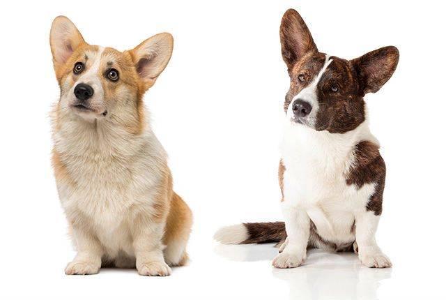 Вельш корги кардиган описание, плюсы и минусы, выбор щенка, питомники.