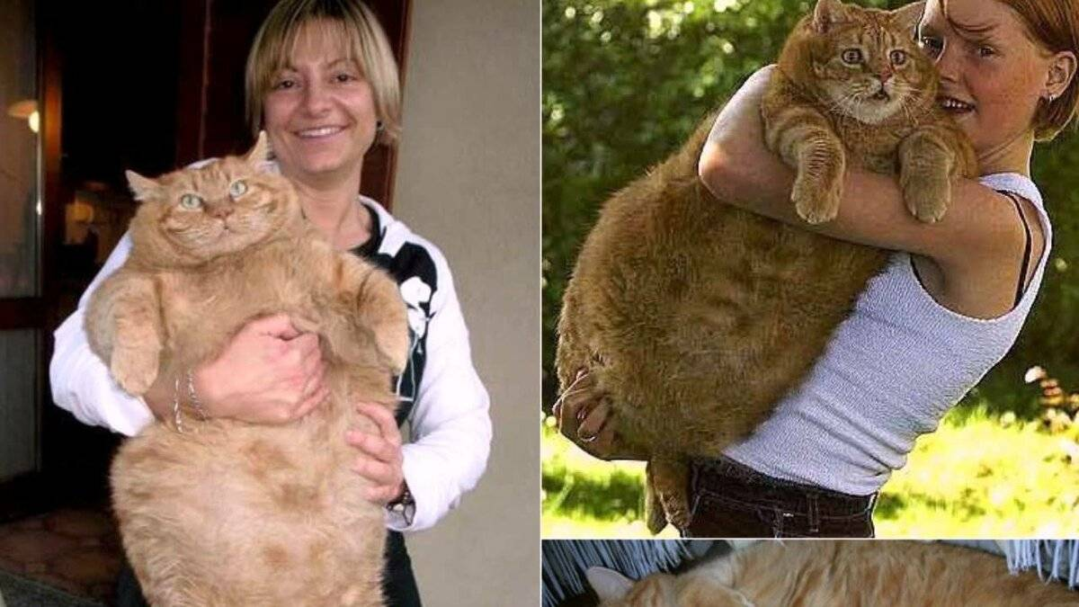 Толстые коты | самые толстые коты в мире, фото