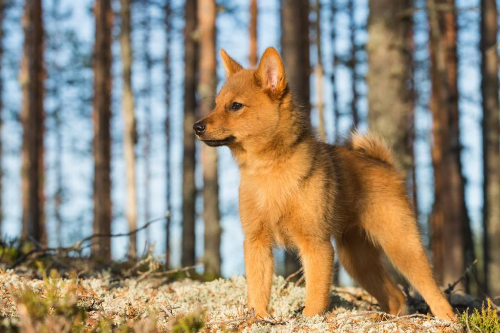 Порода собак карело-финская лайка - описание, характер, характеристика, фото карело-финских шпицев и видео, цена